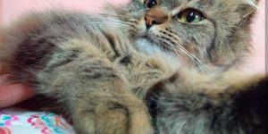 Família busca por gata de estimação que desapareceu em Glória de Dourados
