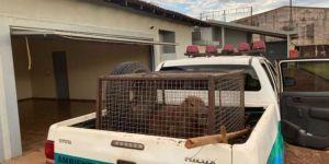 Capivara invade motel em Dourados e é resgatada pela PMA